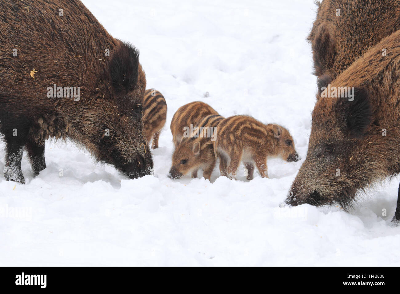 Wild boars with young animals in the snow, - Stock Image