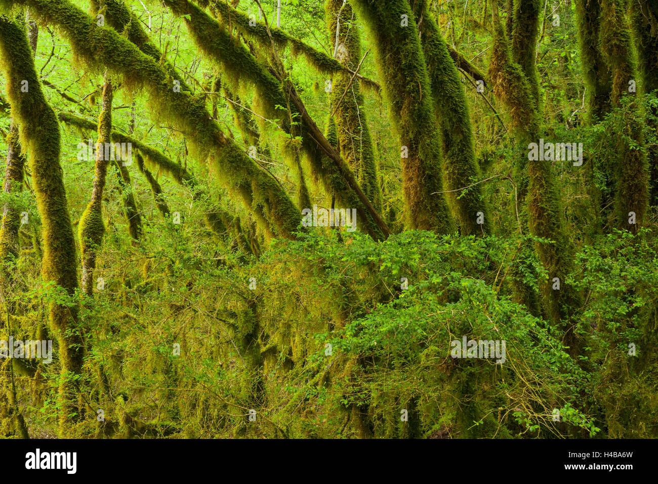 moss-overcast wood, Flumen valley, Saint-Claude, law, France - Stock Image