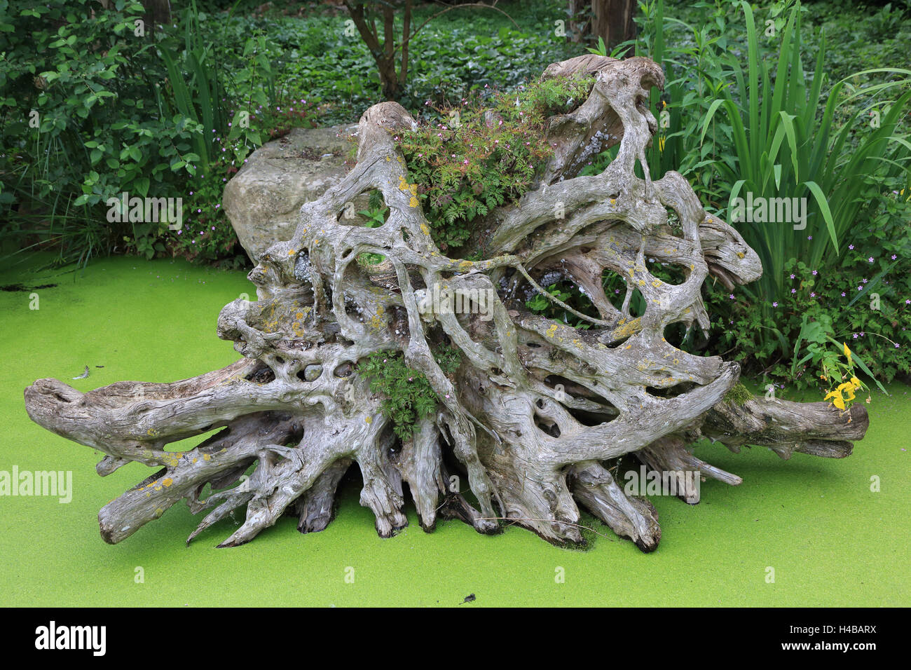 Tree root in the water - Stock Image