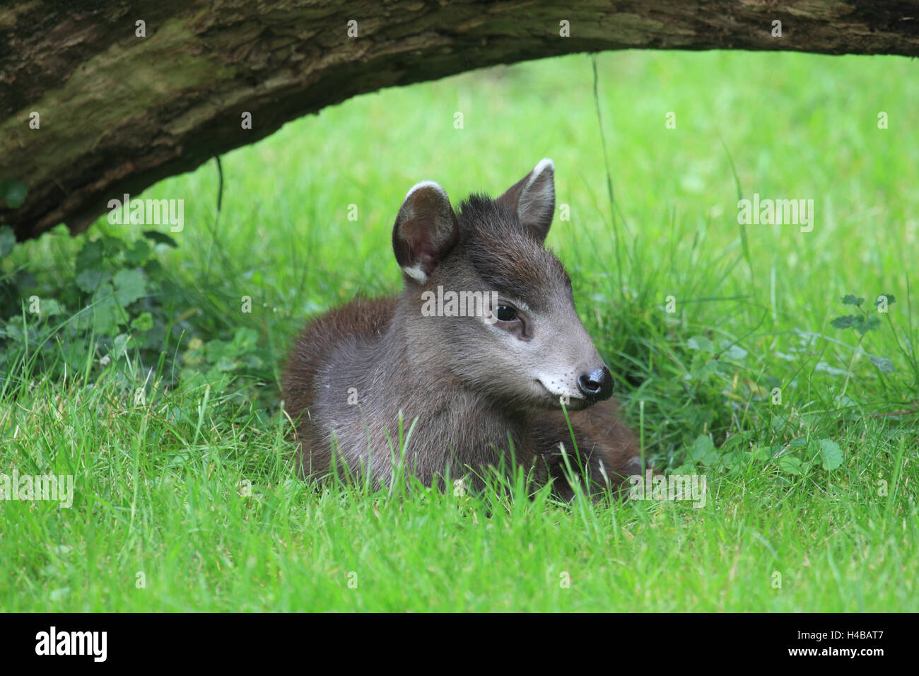 Tufted deer, young animal, Elaphodus cephalophus - Stock Image