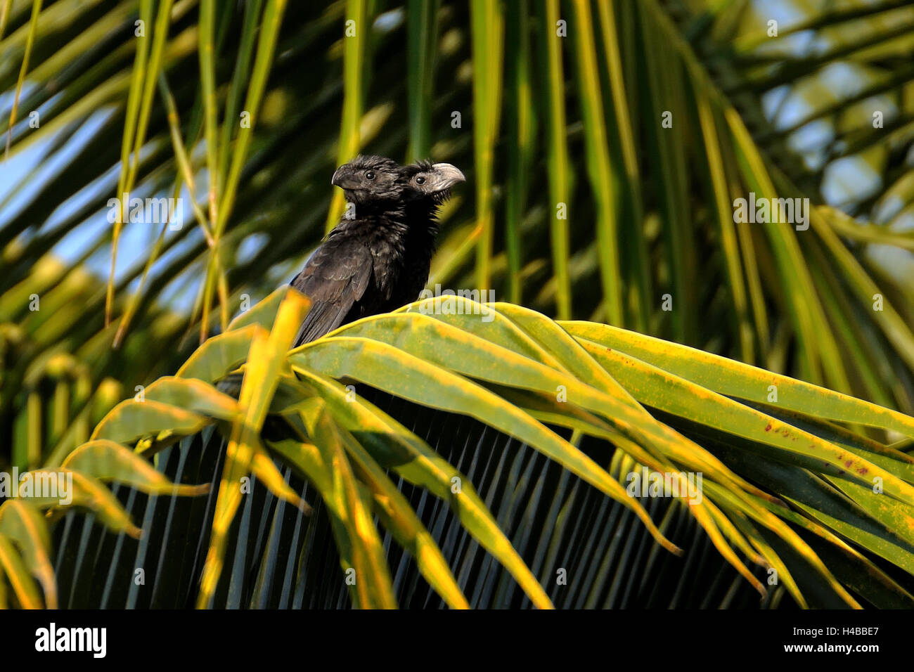 Groove-billed ani (crotophaga sulcirostris), two-headed animal, peculiar, Corozal District, Belize - Stock Image