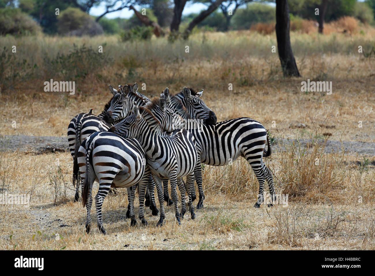 Group of zebras (Equus quagga), Tarangire National Park, Tanzania - Stock Image
