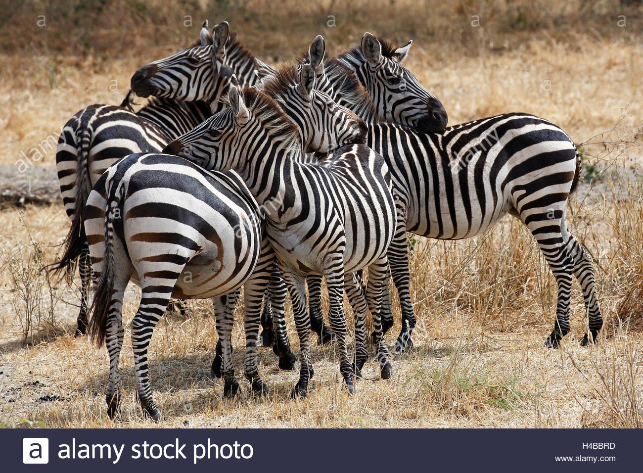 Zebra group (Equus quagga) grooming each other, Tarangire National Park, Tanzania - Stock Image
