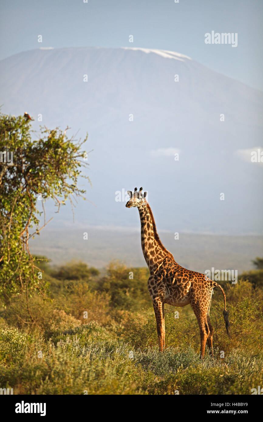 Giraffe (Giraffa camelopardalis), with Mount Kilimanjaro, Amboseli National Park, Kajiado County, Kenya - Stock Image