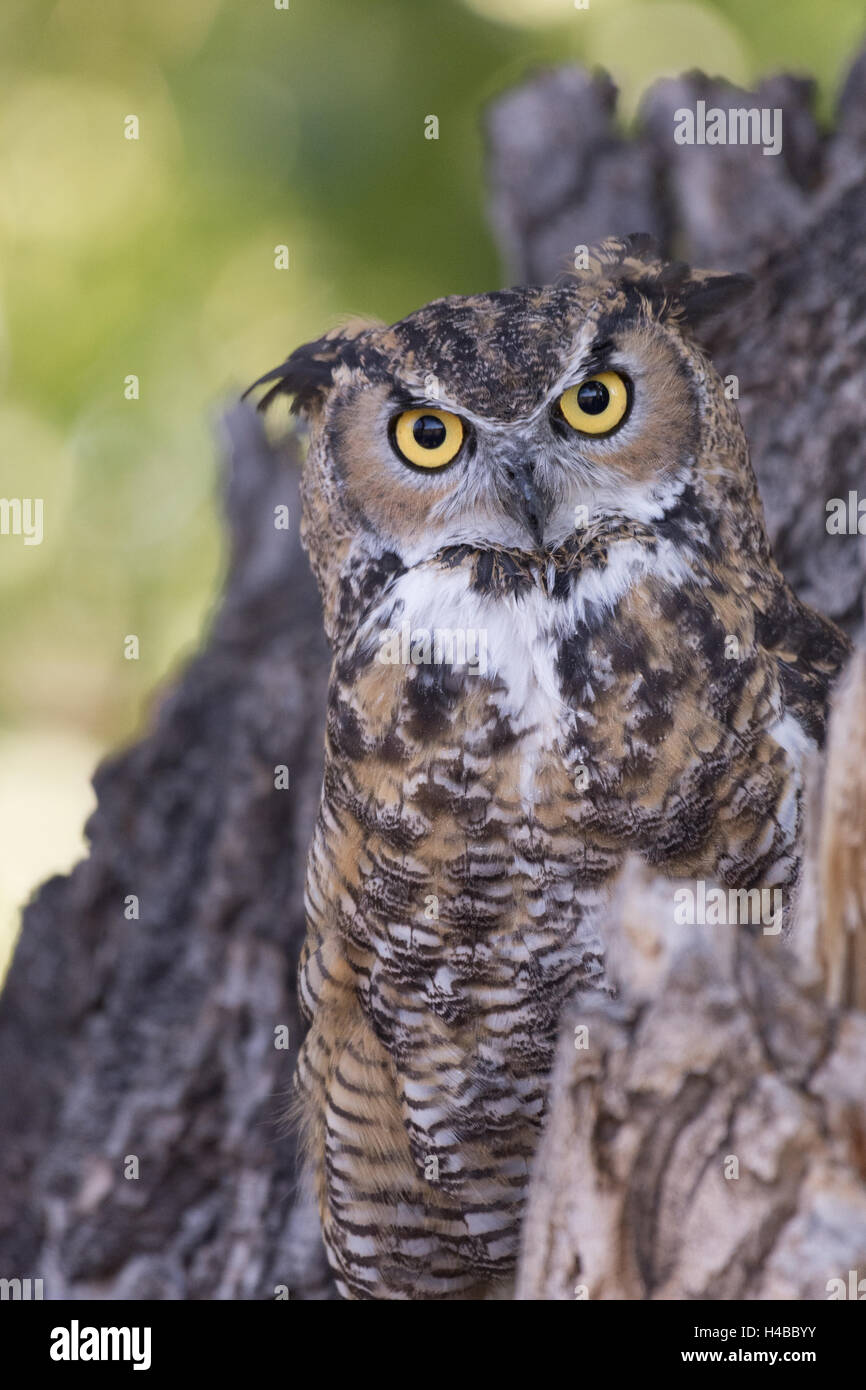 Great Horned owl, (Bubo virginianus).  Injured education animal with Wildlife Rescue Inc., New Mexico. - Stock Image