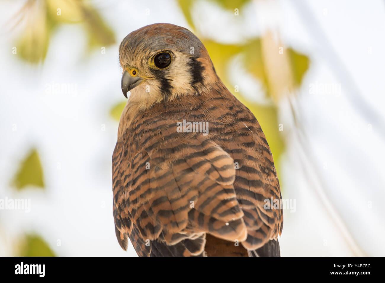 Female American Kestrel, (Falco sparvarius).  injured education animal with Wildlife Rescue Inc., New Mexico. - Stock Image