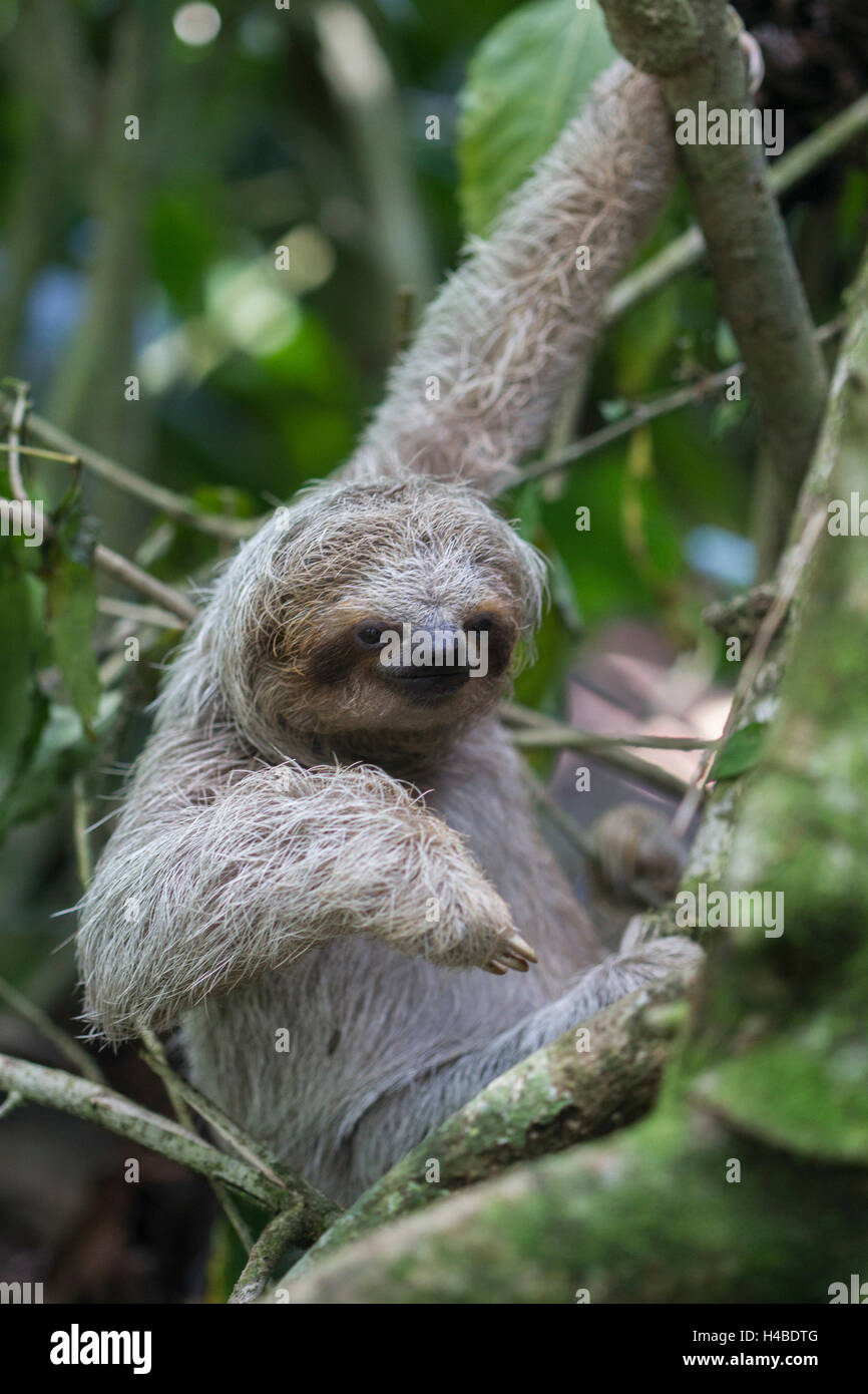 descending sloth - Stock Image