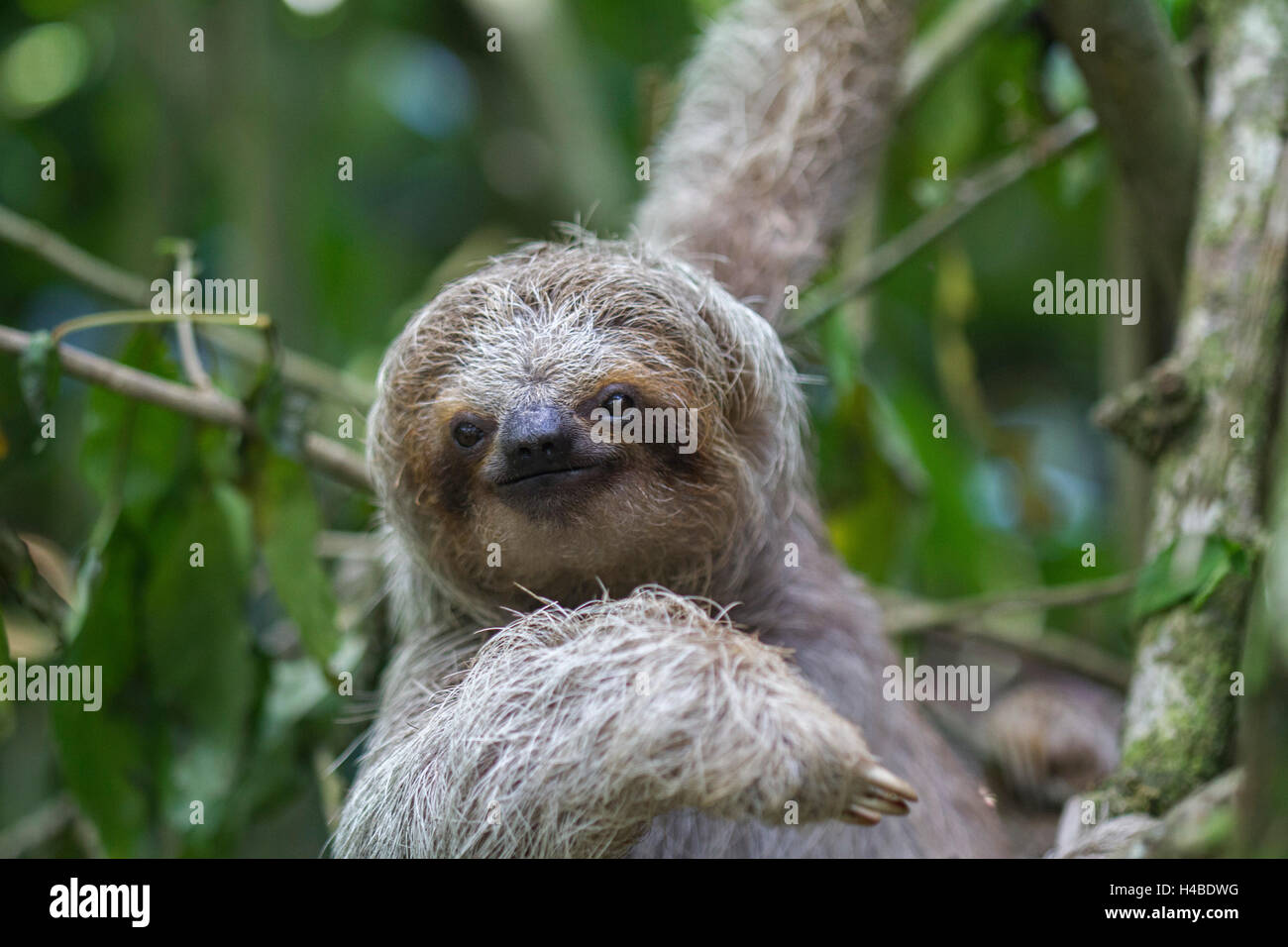 friendly sloth - Stock Image