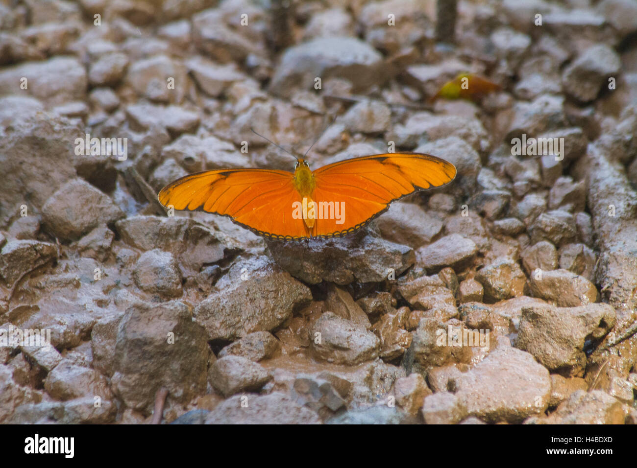 orange butterfly in the shore sludge - Stock Image