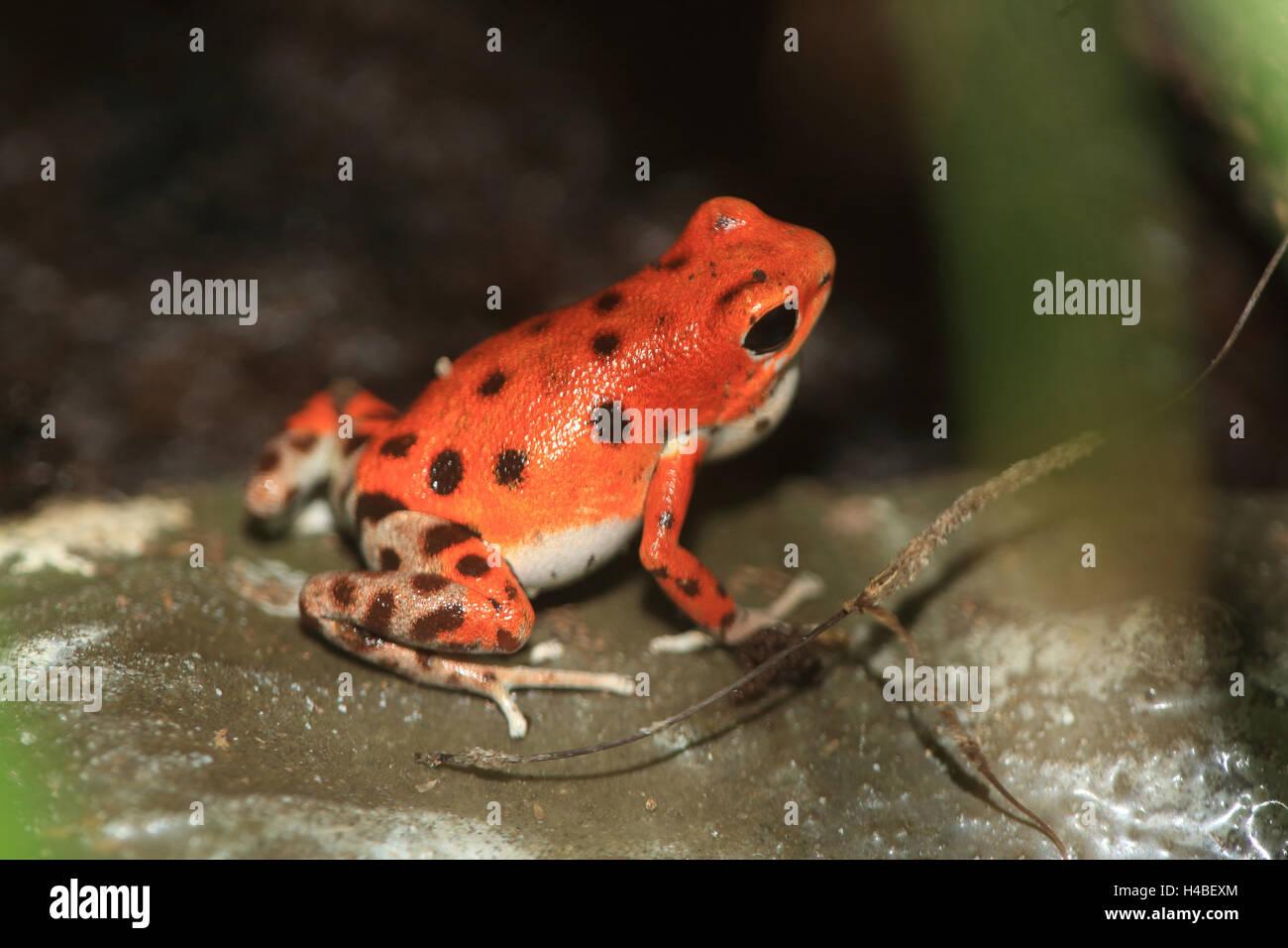 Strawberry poison-dart frog Dendrobates pumilio - Stock Image