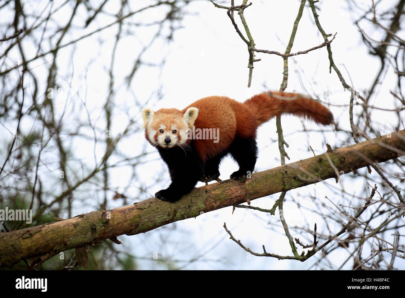 Red panda running on trunk, Ailurus fulgens Stock Photo