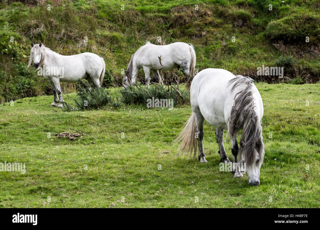 grazing horses in Scottish Highlands - Stock Image