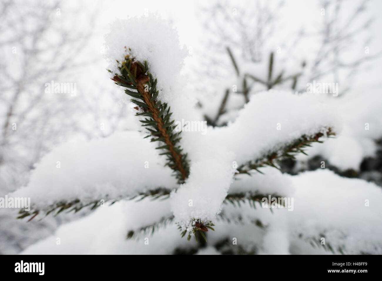 Spruce twig covered with snow - Stock Image