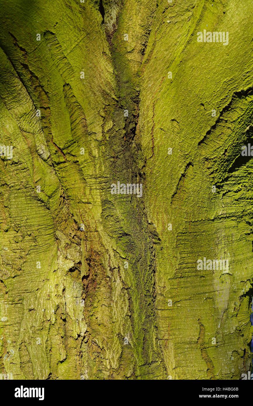 Beech Tree Bark, Husum, Schlosspark, Schleswig Holstein, Germany - Stock Image