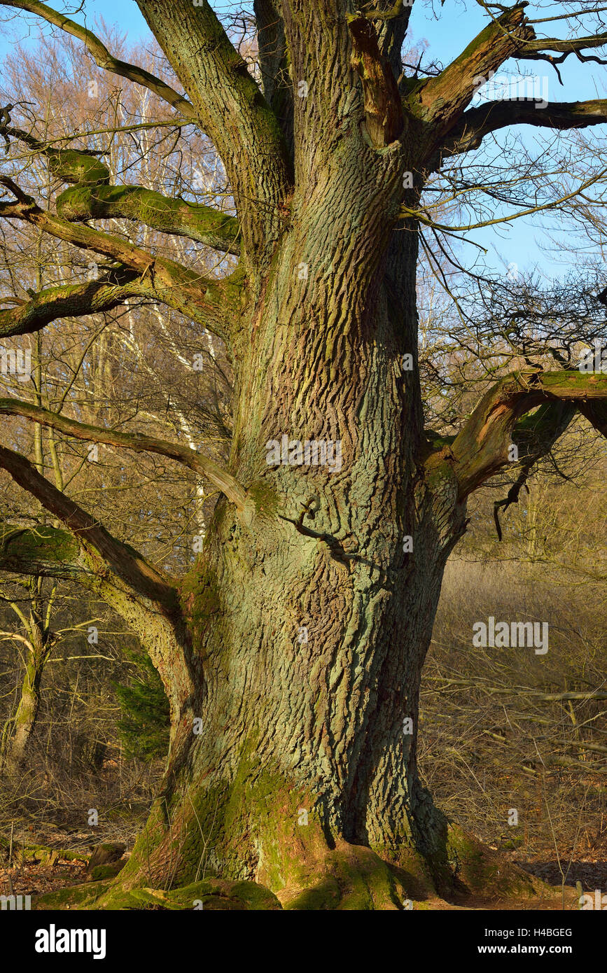 Old Oak Tree, Urwald Sababurg, Hofgeismar, Reinhardswald, Hesse, Germany - Stock Image