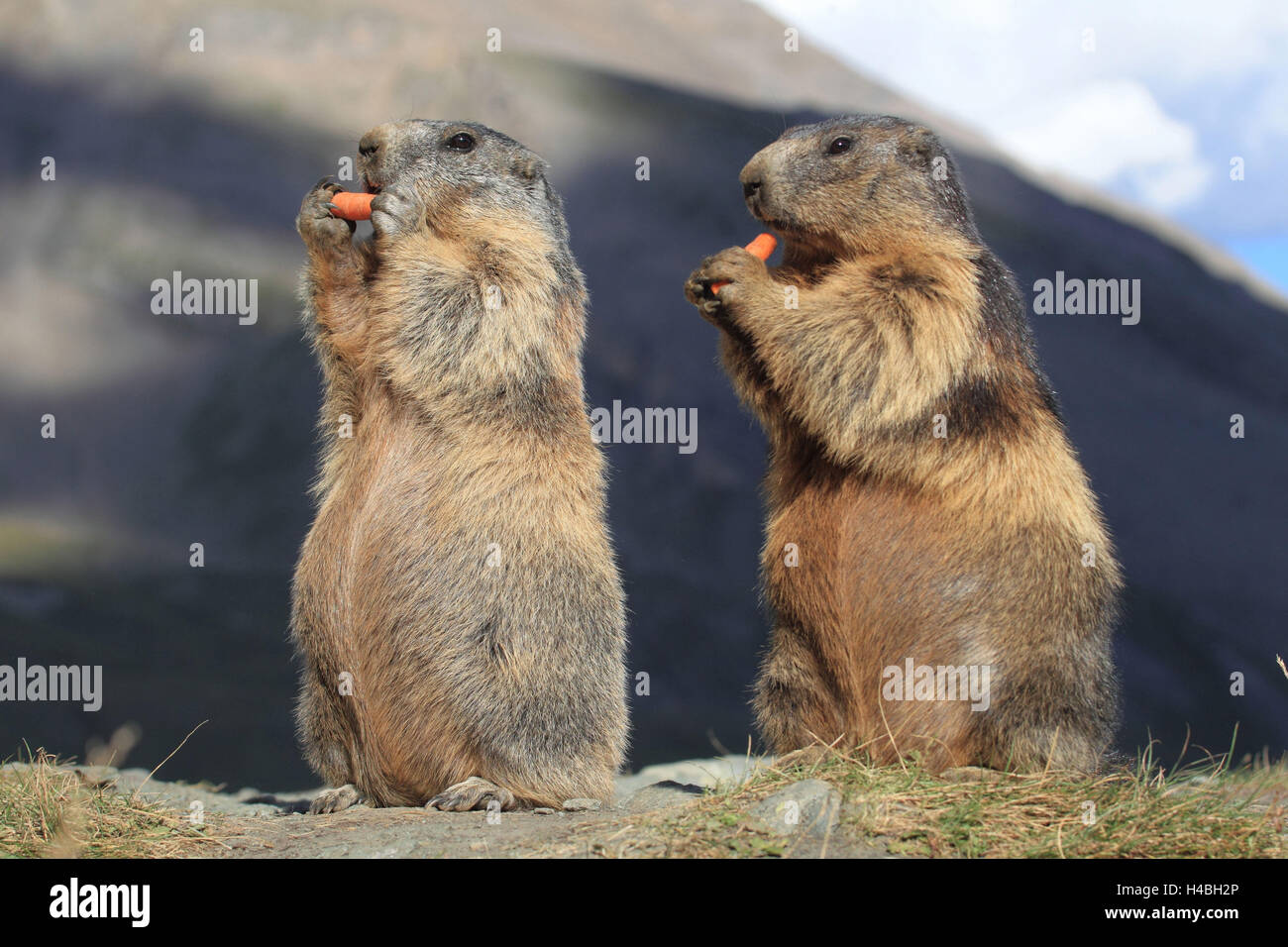 Two alp groundhogs, - Stock Image