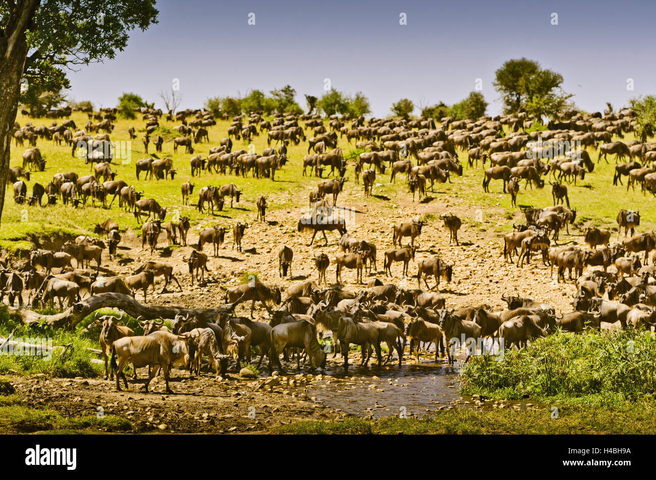 Africa, East Africa, Tanzania, Serengeti, wildlife, gnus, - Stock Image