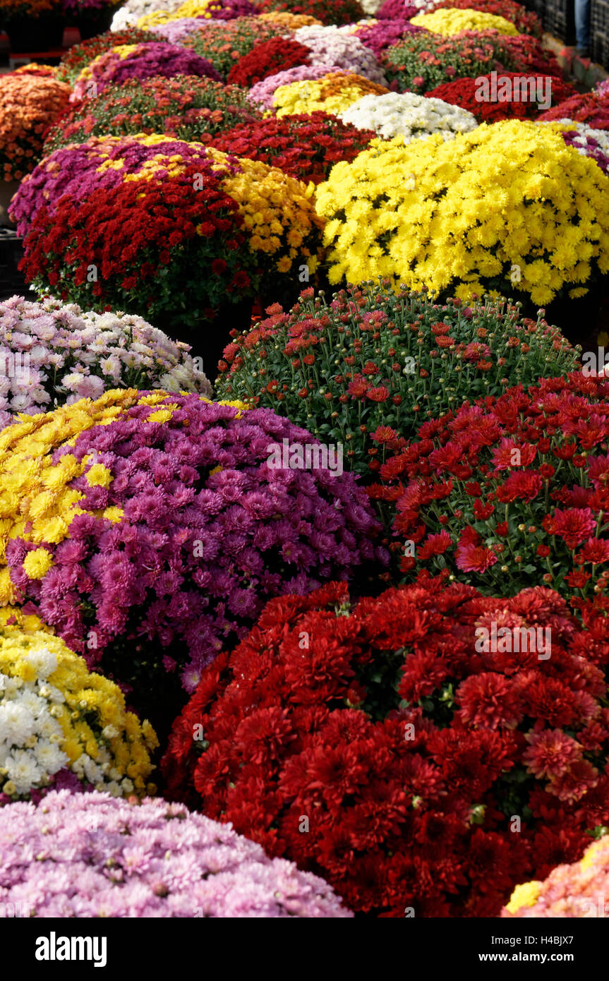 Colorful chrysanthemums or potted mums for sale at the Jean Talon Market, Montreal, Quebec, Canada - Stock Image