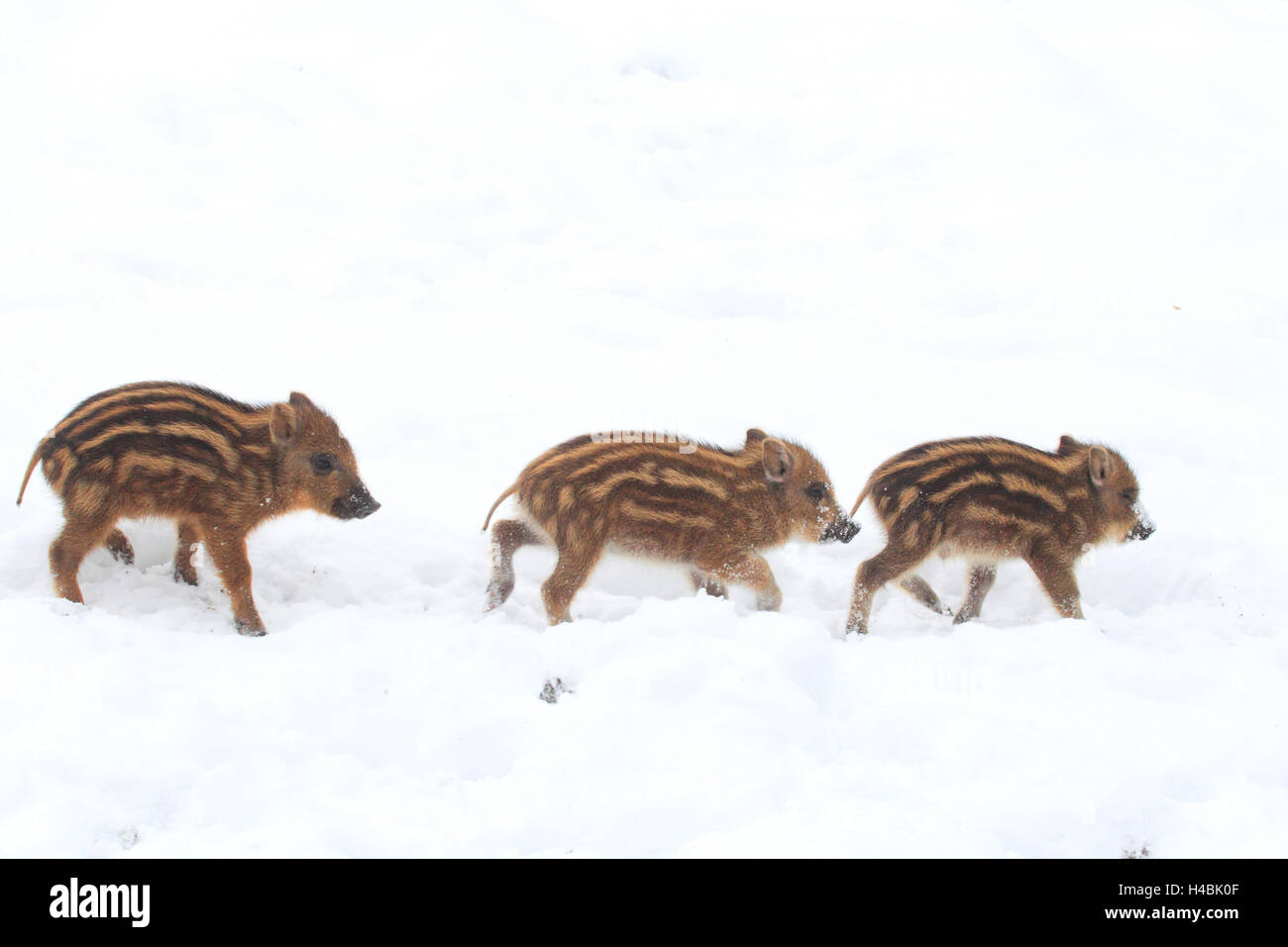 Three young wild boars in the snow, - Stock Image