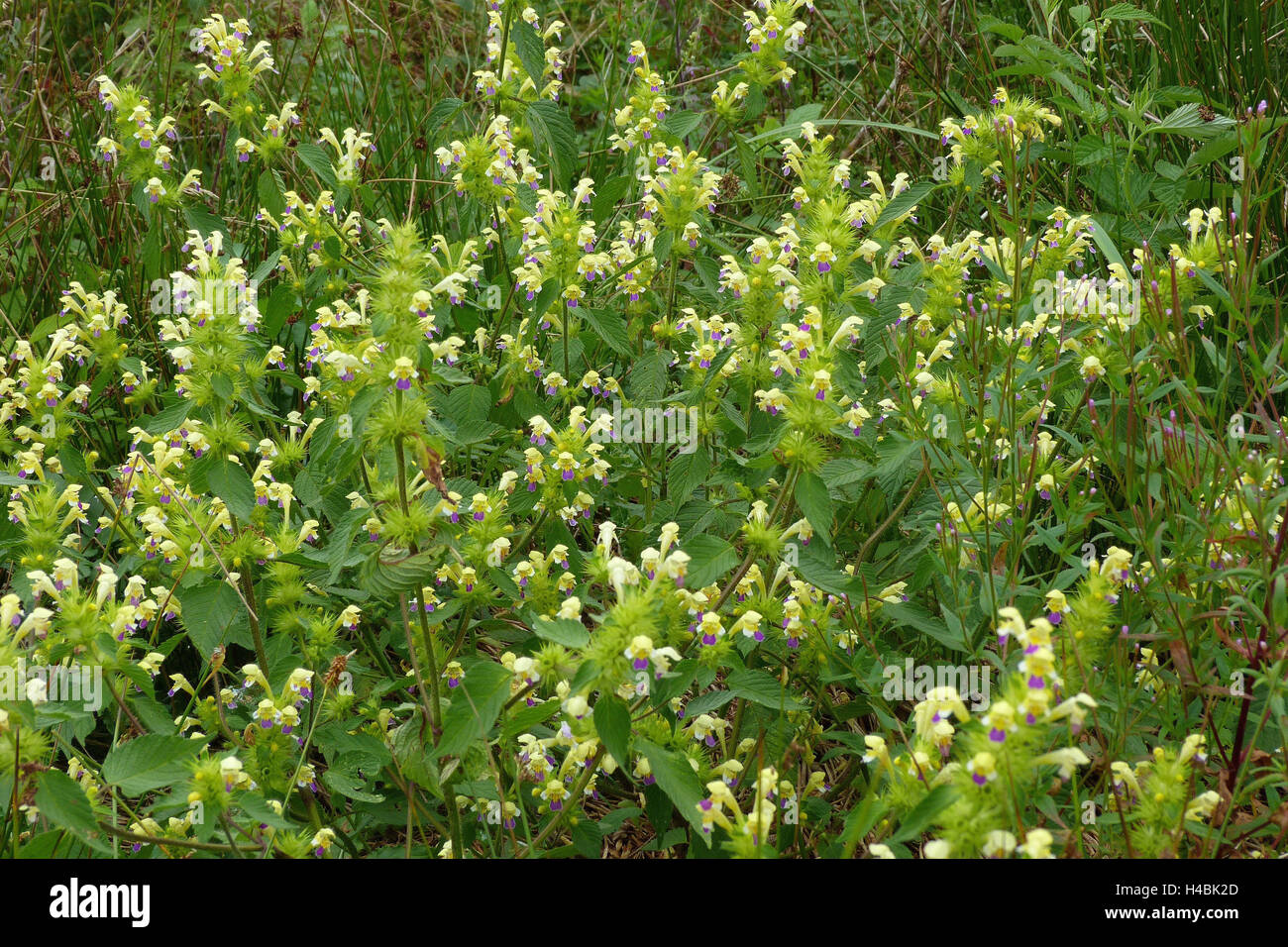 Blossoms of the large-flowered hemp-nettle on a debris surface, galeopsis speciosa, - Stock Image