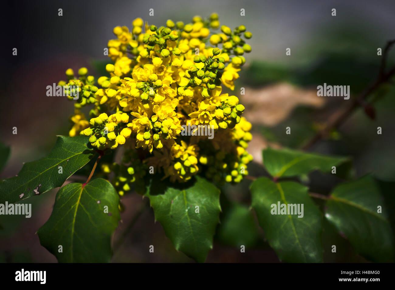 Botany, shrub, blossoms, buds - Stock Image