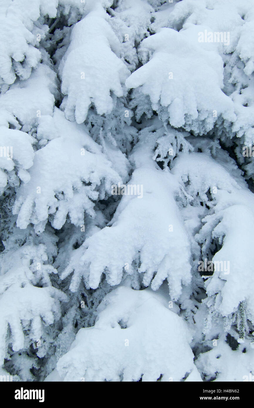 Branches, conifer, winter, snow, Harz, Upper Harz, Central Germany - Stock Image