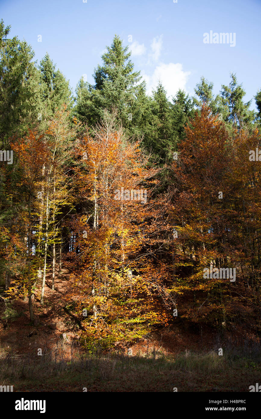 Beeches between spruces in autumn - Stock Image