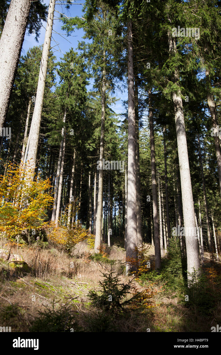 Spruces high forest in Sauerland - Stock Image