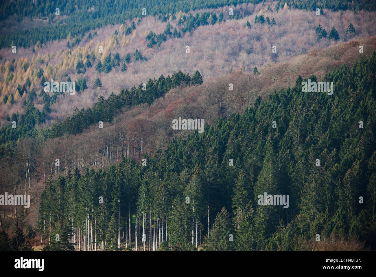 Mixed forest with beeches, larches, spruces in Germany - Stock Image