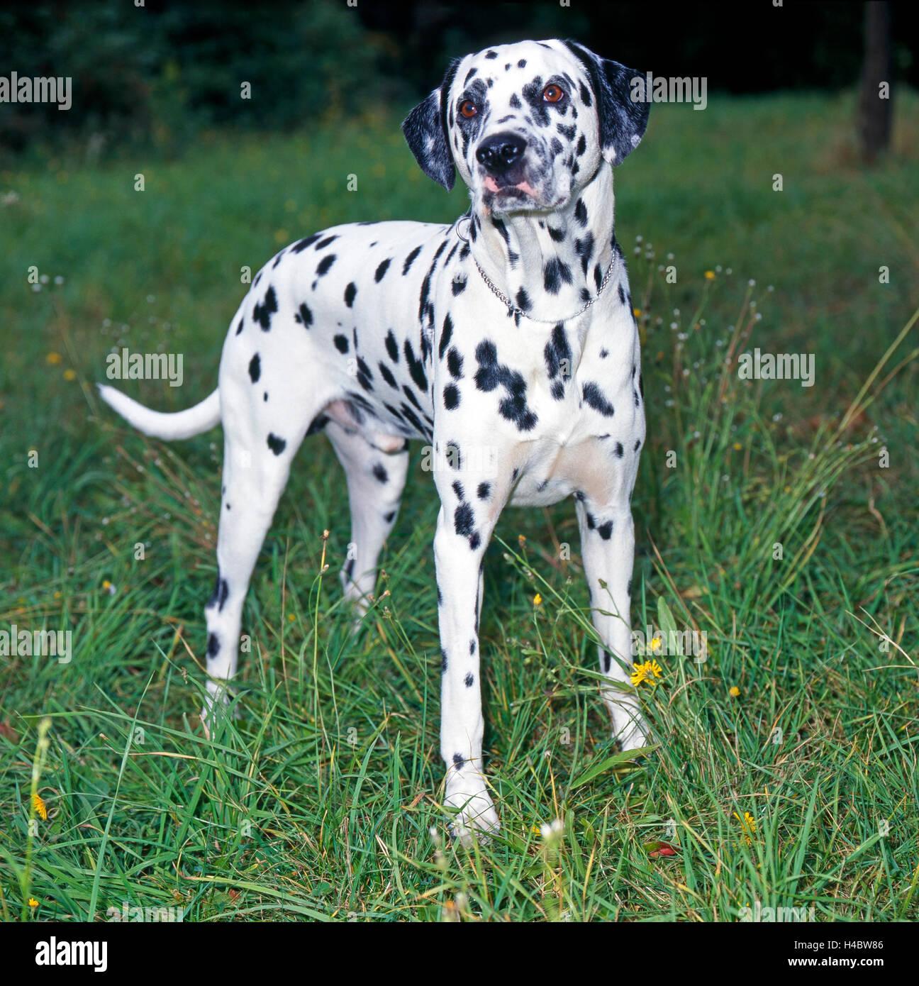 Dalmatian dog in meadow - Stock Image