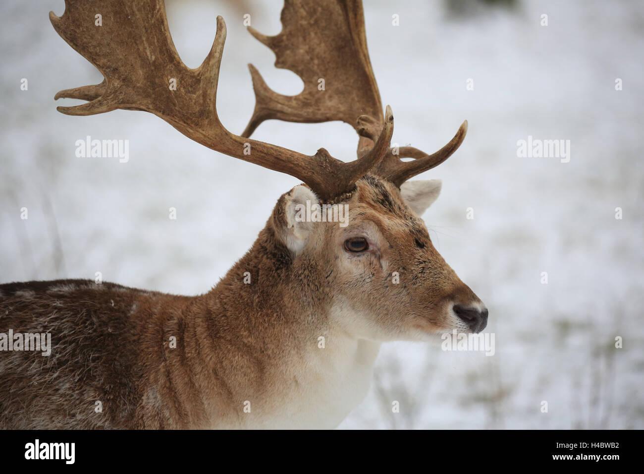 Fallow deer, Dama dama - Stock Image
