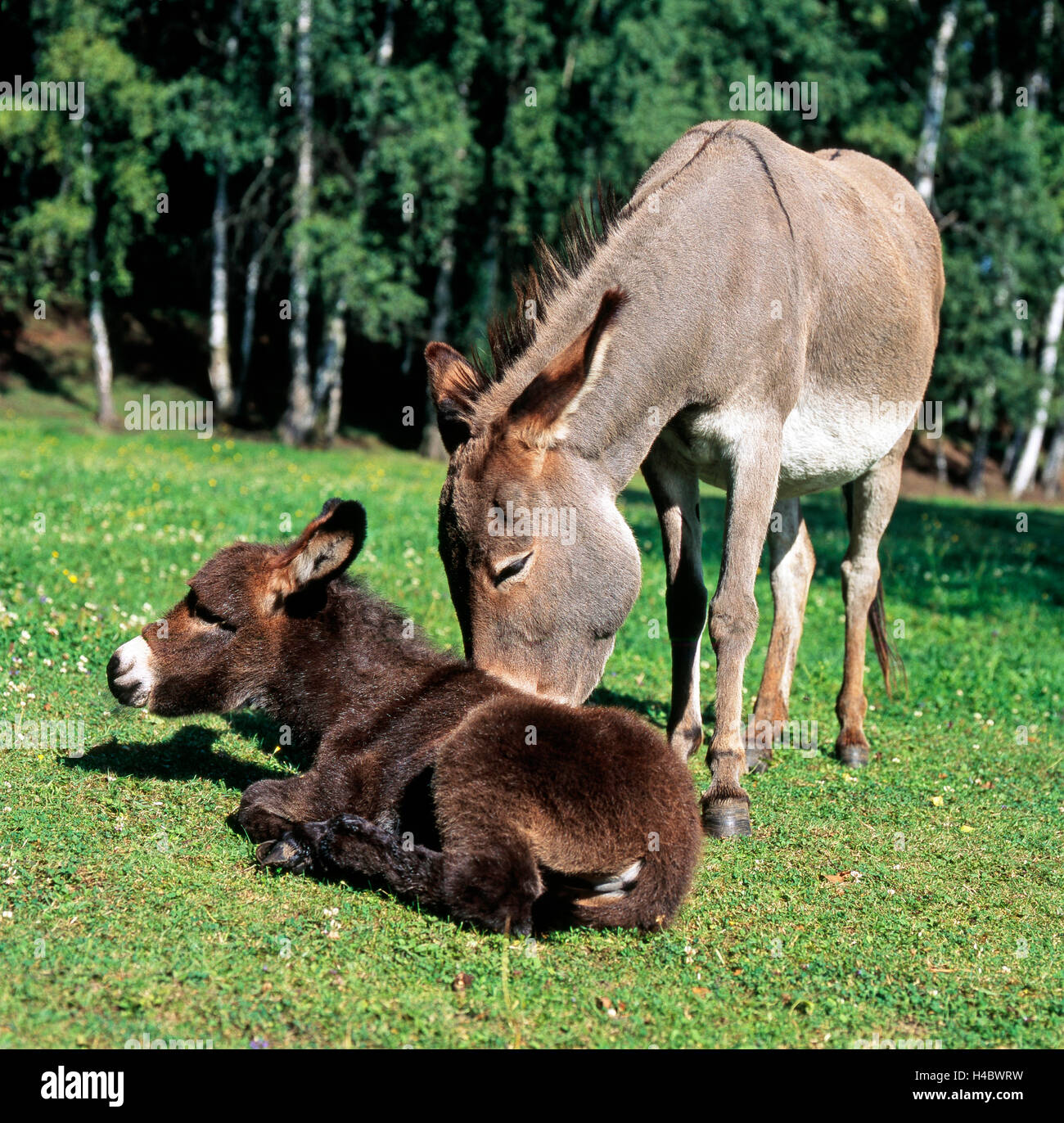 Grey donkey mare, brown foal, caressing, motherly love, meadow, resting - Stock Image