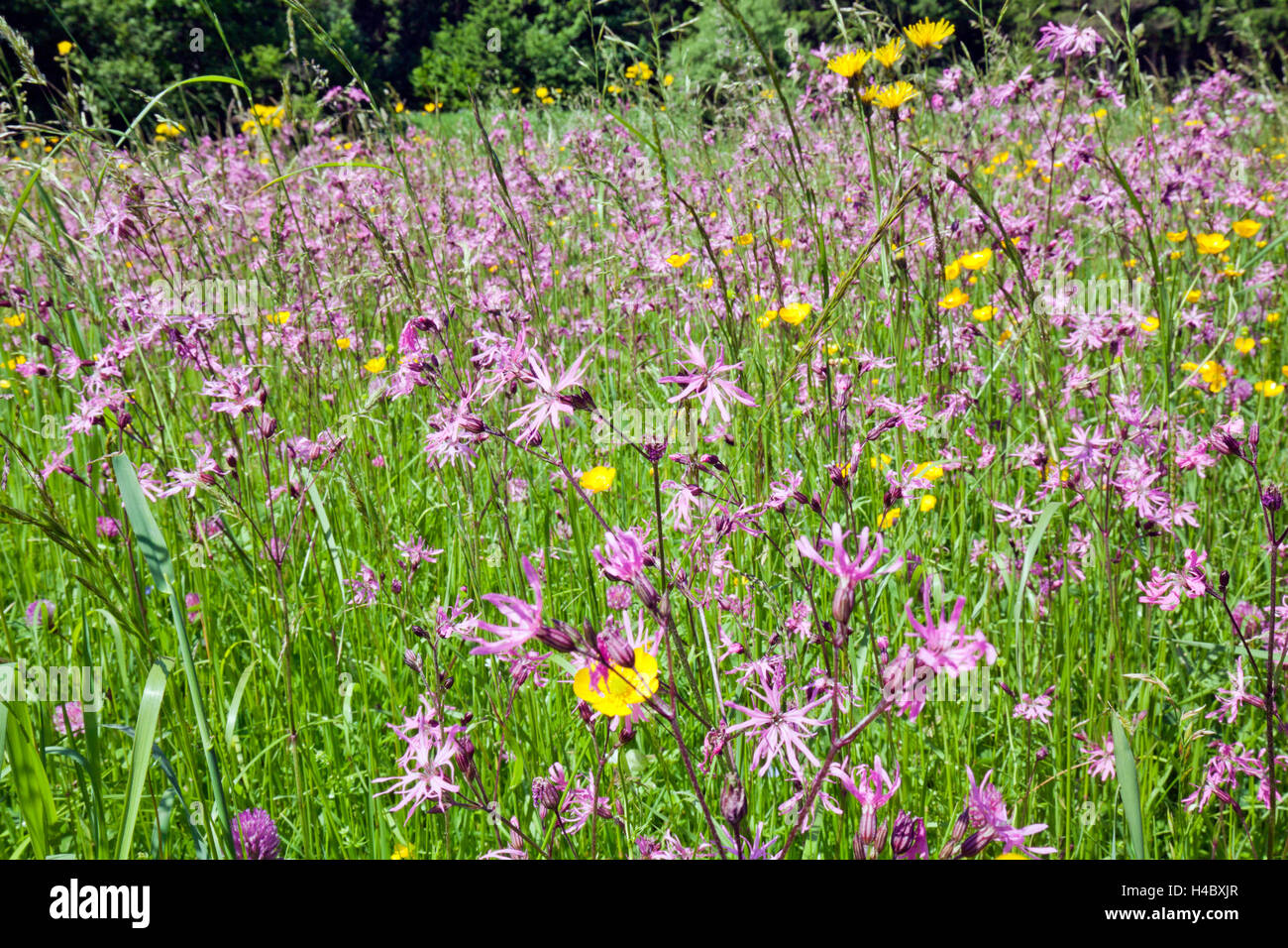 Flower meadow with Ragged-Robins - Stock Image