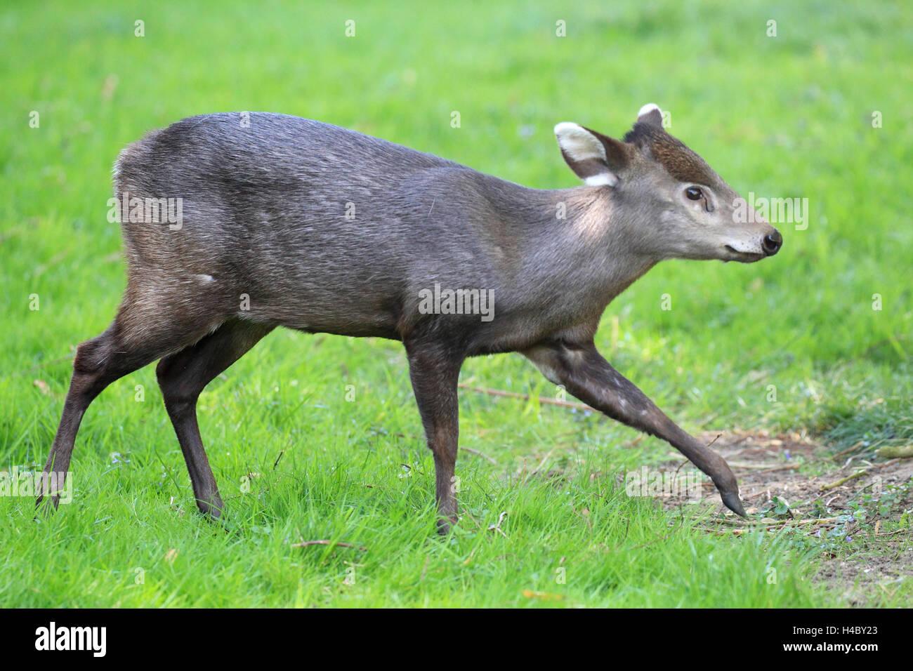 Tufted deer Elaphodus cephalophus Stock Photo