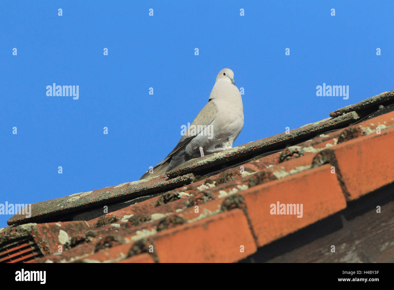 Collared dove courting Streptopelia decaocto - Stock Image