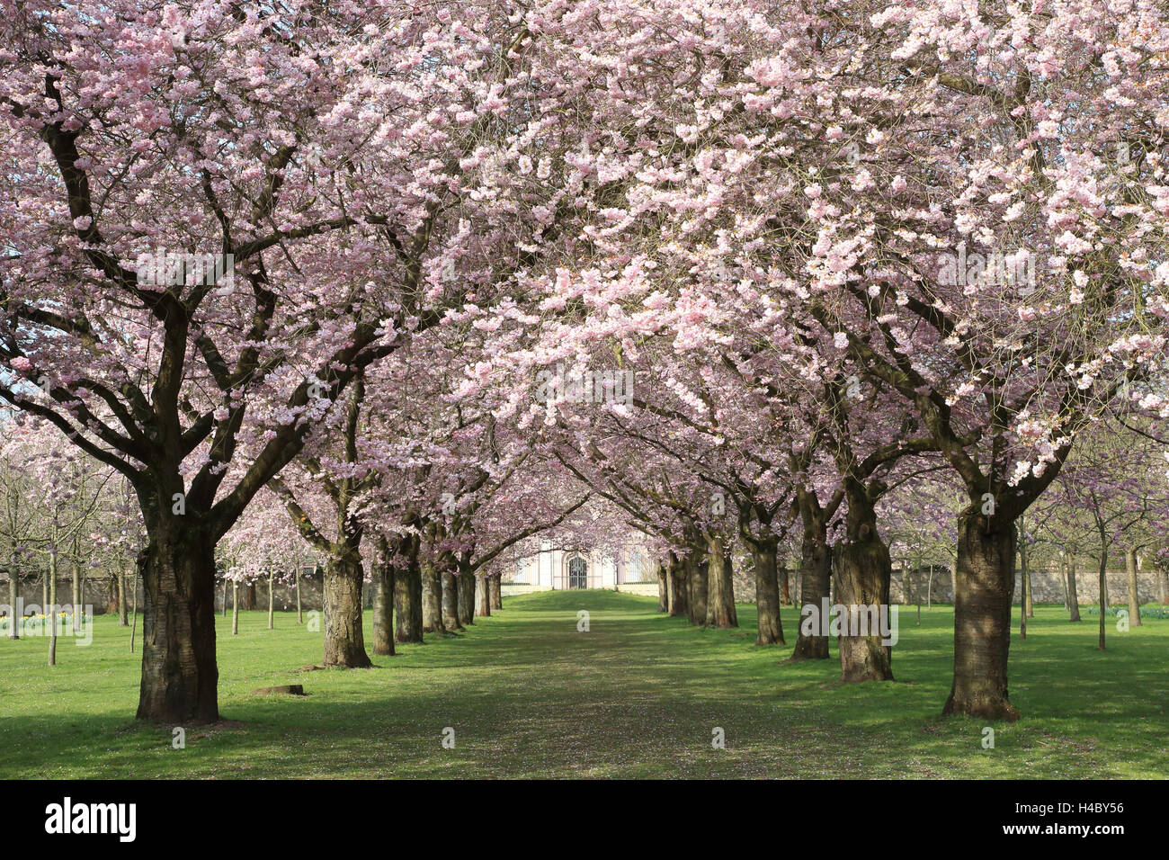 Flowering cherry avenue Schwetzingen Palace - Stock Image