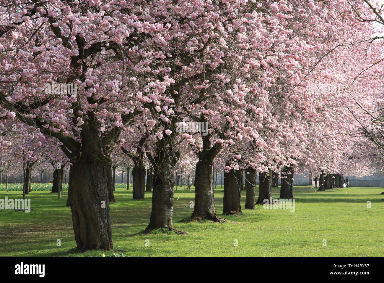 Flowering cherry avenue Schwetzingen Palace - Stock Image