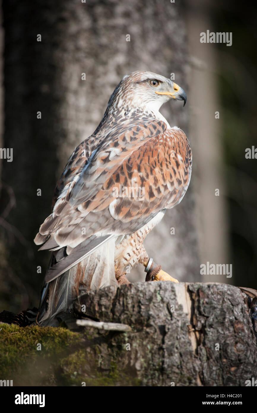 Ferruginous hawk perching on tree stump - Stock Image