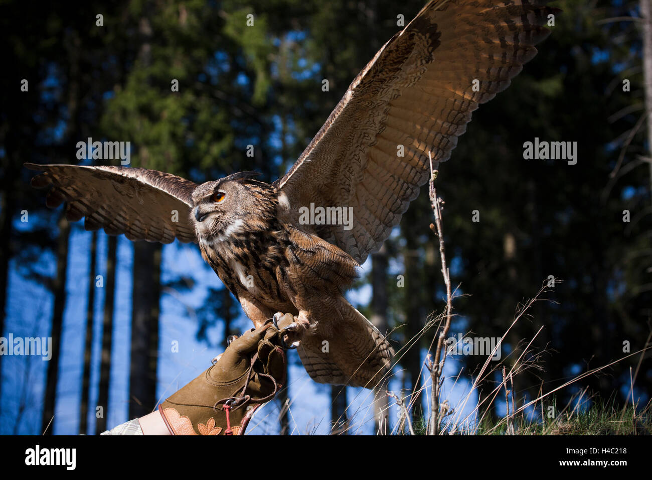 Falconer letting eagle owl fly - Stock Image