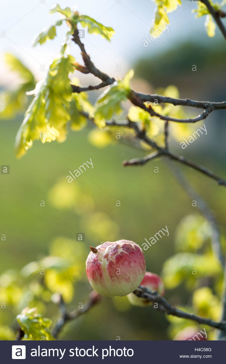 Oak Apple forming on Quercus robur, Oak tree, a spongy spherical gall which forms on oak trees in response to the - Stock Image