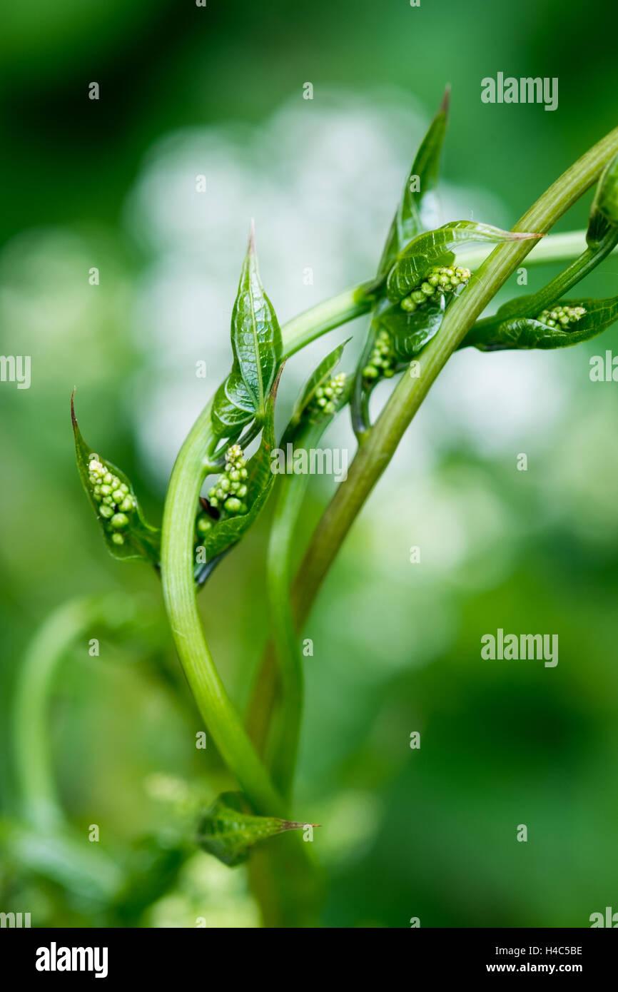 Black bryony (Tamus communis) - Stock Image