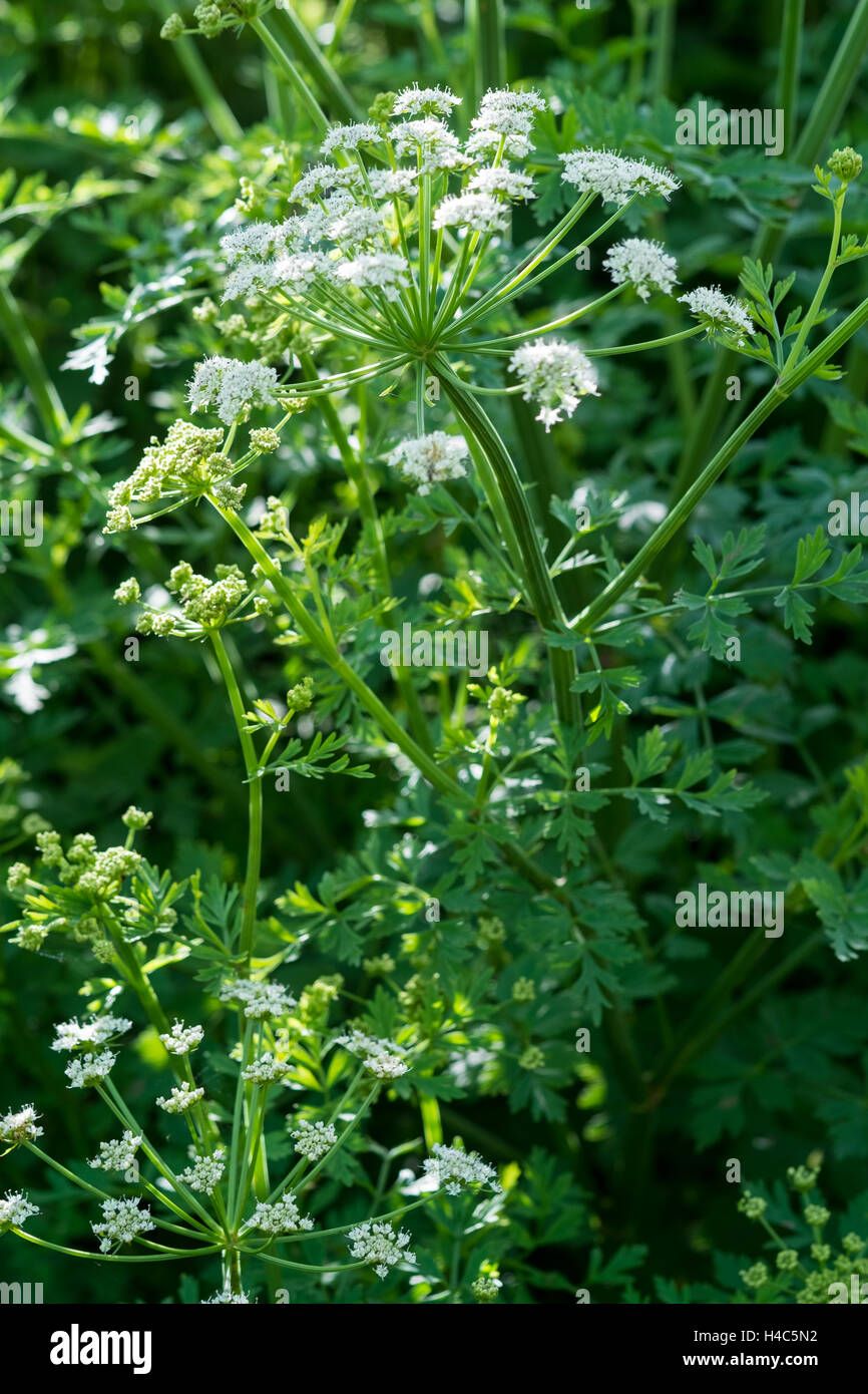 Hemlock Water Dropwort (Oenanthe crocata) - Stock Image