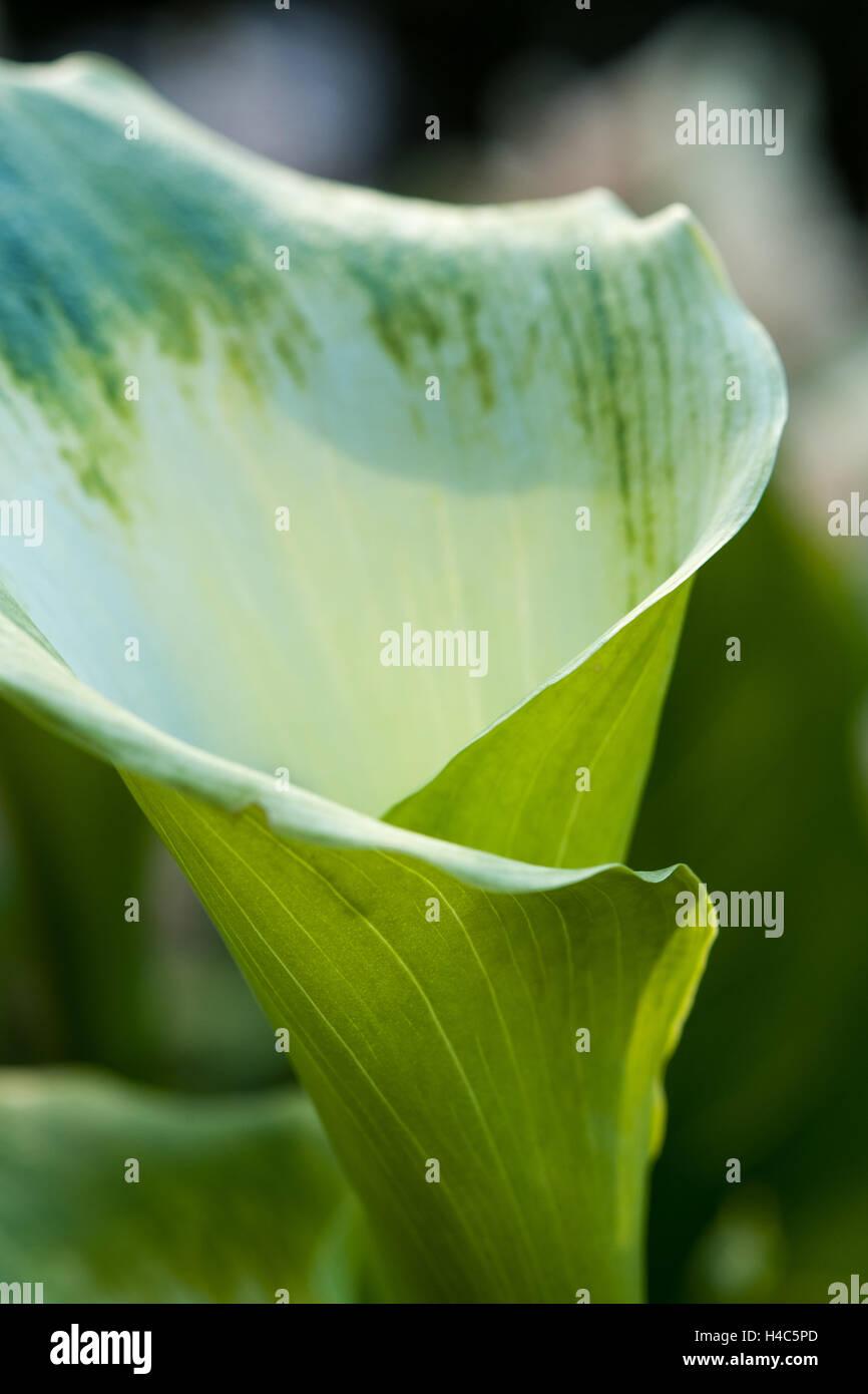 Zantedeschia aethiopica 'Green Goddess' arum lily - Stock Image
