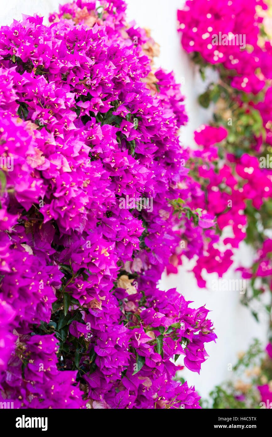 Bougainvillea - Stock Image
