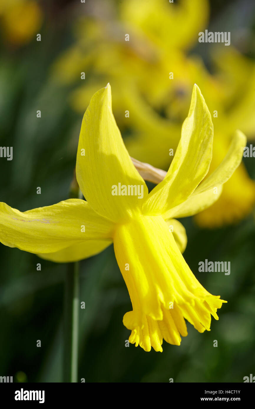 Narcissus 'February Gold' - Stock Image