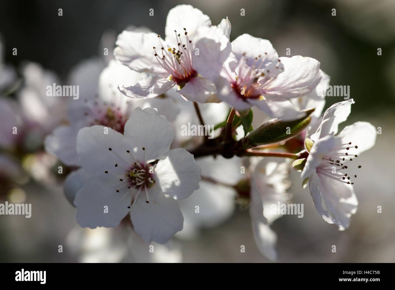 Prunus cerasifera - Stock Image