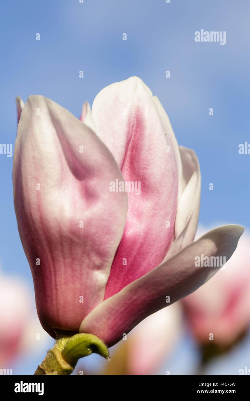 Magnolia 'Pickard's Pearl' - Stock Image