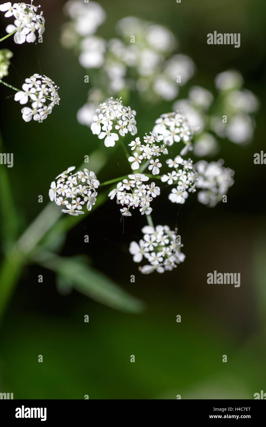 Cow Parsley (Anthriscus sylvestris) - Stock Image