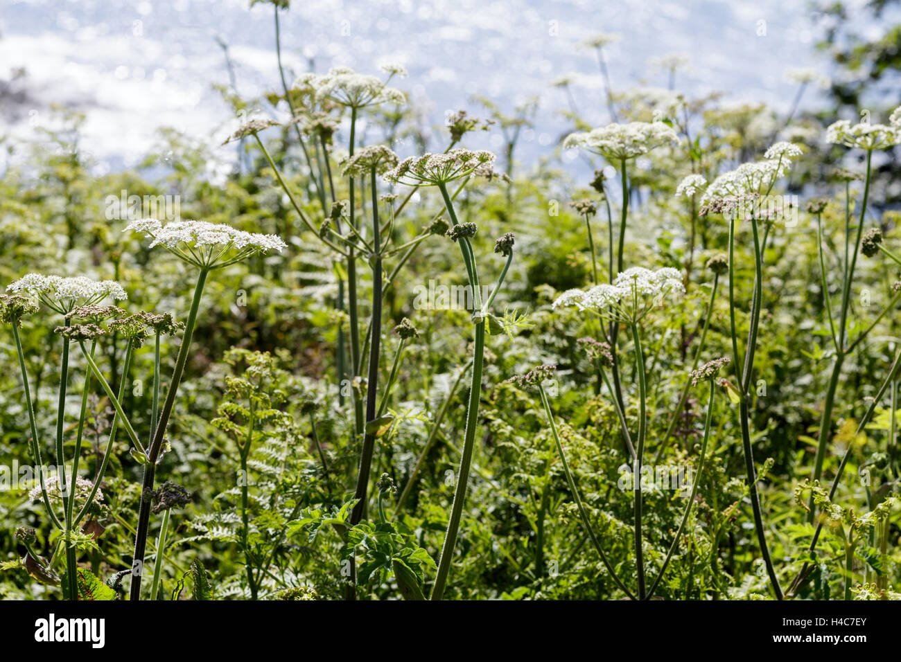 Cow Parsley (Anthriscus sylvestris near the sea - Stock Image