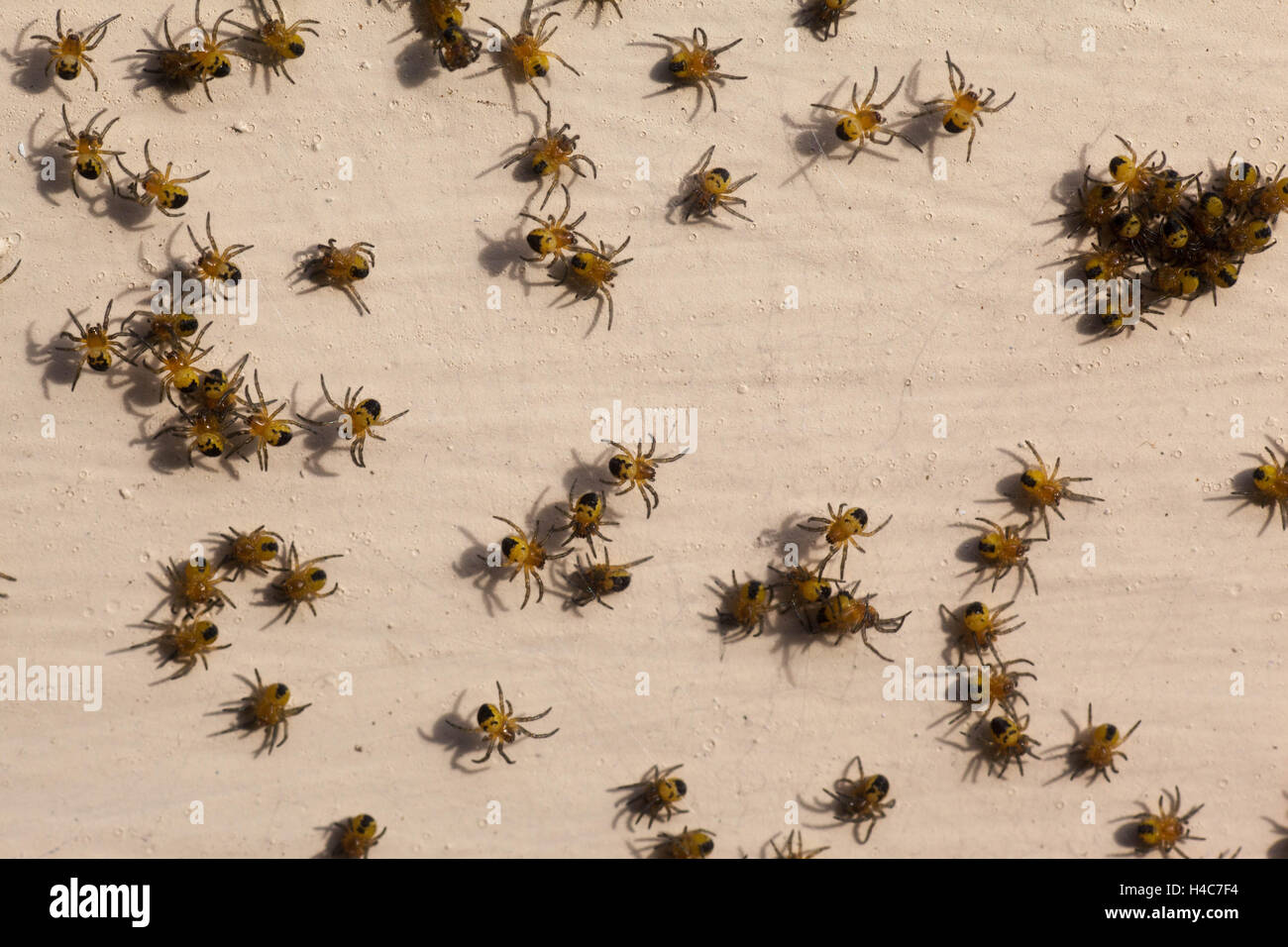 Baby spiders recently hatched on a window ledge. - Stock Image
